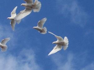 Big_doves