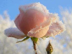 Big_trandafir_inghetat