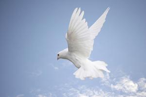 Big_flying-dove2
