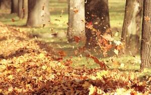 Big_autumn-leaves
