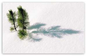 Big_fir_tree_twigs