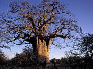 Big_dried_tree